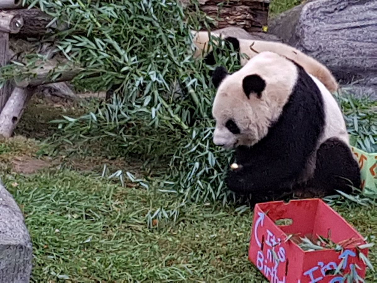 Jia Panpan & Jia Yueyue Celebrate their Second Birthday at the Toronto Zoo!